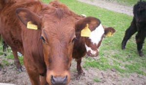 880-cow-head-calf-again